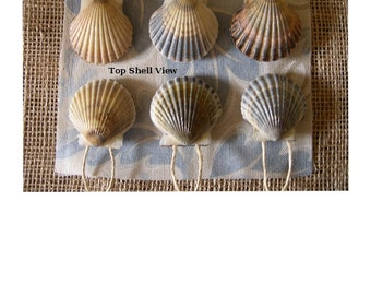 "NANTUCKET SCALLOP SHELL Ornaments - Set of 6 {Shells are approximately 2-1/4"" in size} Gloss Finish  Great as a Gift Item!"