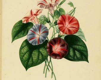 Antique Botanical Downloadable Wall Art Graphic Image Morning Glories