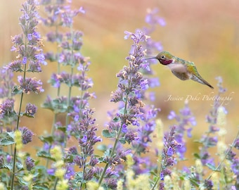 Hummingbird, Hummingbird Photo, Southwest Art, Fine Art Photography, Hummingbird Art, Hummingbird & Flowers, Pastel Photo, Catmint, Garden