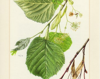 Vintage lithograph of large-leaved linden from 1958