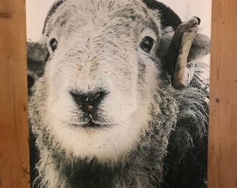 Sprout the herdwick sheep