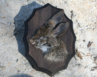 Preserved Cottontail Rabbit Face Plaque 002