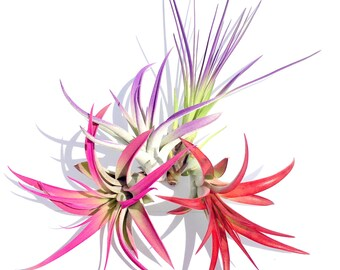 Air Plant Fun Pack Mix of 4 Plants