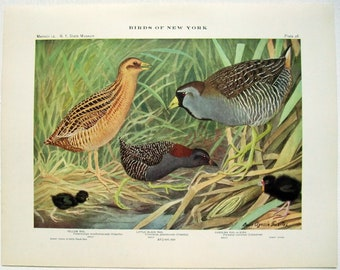 Yellow Rail, Little Black Rail & Carolina Rail - Antique Print by Louis Agassiz Fuertes - From the 1910 Edition of The Birds of New York