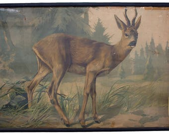 Rare educational chart, deer, Lithograph, Karl Jansky, Böhmen, 1897