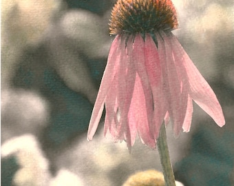 Hand-Painted Sepia Photograph & Cards | Coneflower