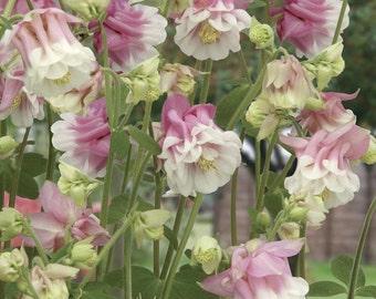 Aquilegia Pink Petticoat Flower Seeds / Perennial    30+