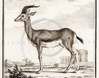 Vintage Gazelle Animal Illustration Printable 1800s Gazelles Antique Print Antelope Instant Download Clip Art Old Retro Drawing ZS