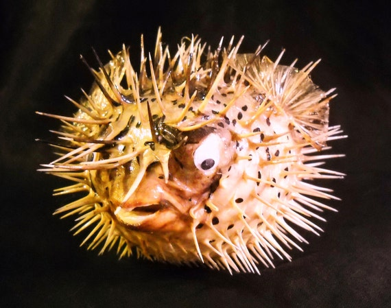 7 10 taxidermy puffer fish real preserved dried large for Puffer fish stuffed animal