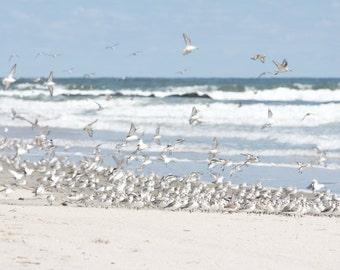 Flock of Birds Beach Art, Coastal Wall Art, Sanderlings on the Beach Shorebird photograph, Seashore Art, Beach Color Palette, Cape Cod Style