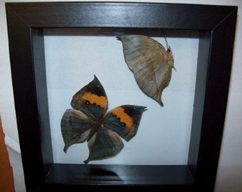 India Leaf Butterfly set