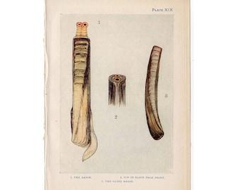 c. 1907 ANTIQUE SHELL LITHOGRAPH original antique sea life ocean print - razor clam shells