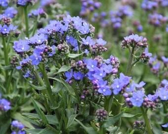 Anchusa Capensis Blue Angel Dwarf Bugloss 200 seeds