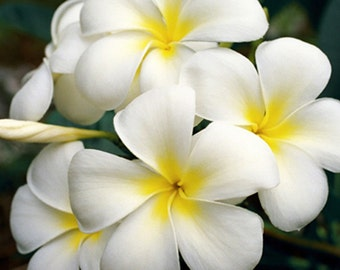 White Plumeria - Flower Photography - Fine Art Photography Nature - Hawaiian Art - Aloha Lei Flower Plumeria Frangipani - Flower Photo