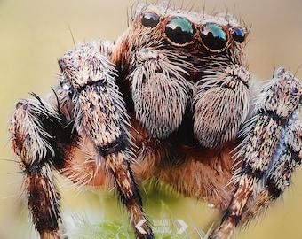 Nature Photography, Jumping Spider Close Up, Spider Art, Animal Art, Wild Life Photography, Nature Art, Fine Art Print, Wall Art, Home Decor