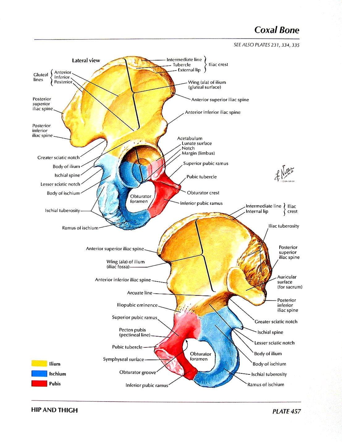 Anatomía imprimir hueso Coxal articulación de la cadera