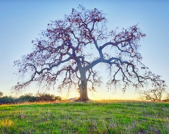 California Oak Tree Landscape Sunset Photography Print Fine Art Agoura Hills Photograph Wall Art Decor | Also Available on Canvas or Metal