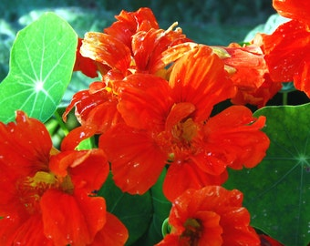 Nasturtium Seeds, Mixed Nasturtiums, Tropaeolum majus Seed, Edible Flowers, Great for Container Gardens and Hanging Baskets