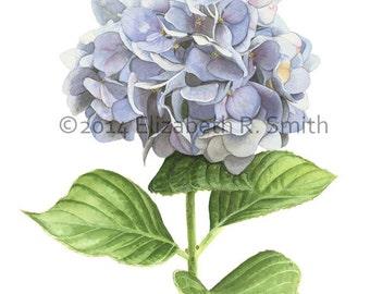 "Hydrangea Watercolor 8"" x 10"" Print"
