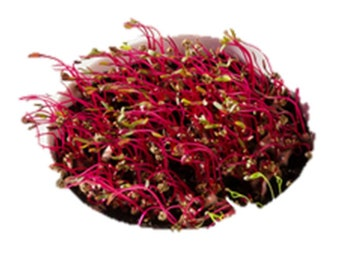 Amaranth Red Garnet Sprouting (select 1000 thru 2 LB seeds) Microgreens  #197