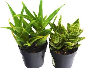 "Aloe Vera Succulent 2-Pack / All Different Species / 2"" Pots / Live Home and Garden Plants"