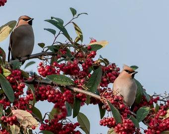 Wildlife Photographic signed mounted A4/A3 Prints of Waxwings