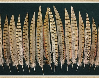 "16 - 9 1/2"" to 13"" pheasant tail feathers from ringneck rooster pheasants, pheasant feathers"