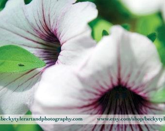 Petunia Flower Fine Art Photo Print