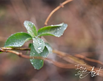 Water Drops on Leaves Photograph - Midwest Nature - Digital Download - Photography