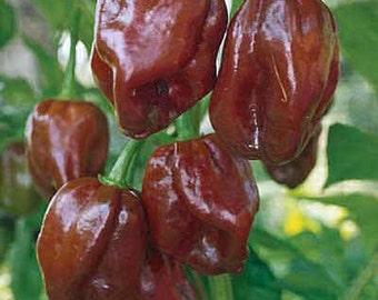 Hot Pepper Plant, Chocolate Habanero Organic Super Hot