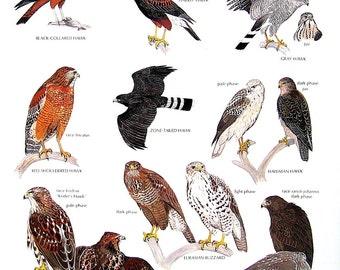 Vintage Bird Print - Black Collared Hawk, Red Tailed Hawk, Harris' Hawk, Hawaiian Hawk, Gray Hawk - 1990 Vintage Book Page - 11 x 9