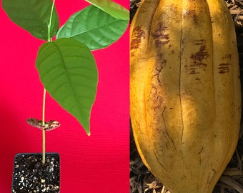 TRINITARIO Theobroma Cacao Cocoa Chocolate Fruit Tree Potted Plant Yellow Large Pod 10-13""