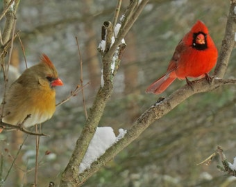 Pair of Northern Cardinals in NY winter.  Fine art print.