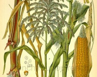 antique botanical print corn plant and fruit illustration digital download