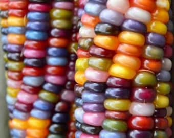 Glass Gem Corn Rare Open Pollinated Seeds Grown to Organic Standards Popcorn