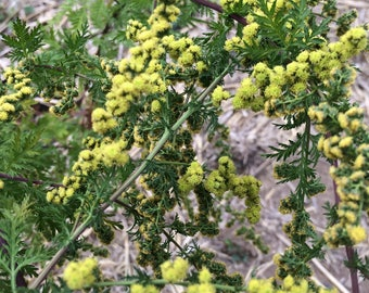 Sweet Annie Tincture, Qing Hao herb, Artemisia annua organic