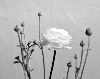 Ranunculus Blossom Fine Art Photo