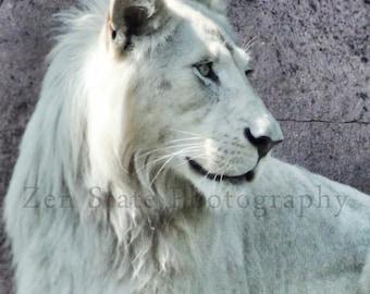 White Lion Photograph Animal Photography Art Prints Lion Wall Art Rare White Lion Wall Decor Unframed Print Framed Photography Canvas Print