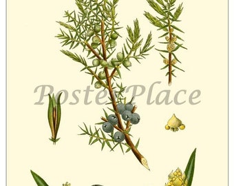 JUNIPER - Art Card Vintage Botanical reproduction 497