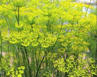 Fennel Herb Seeds/Foeniculum Vulgare Florence/Annual   75+