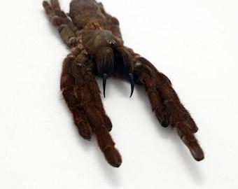 A1 Taxidermy Tarantula Spider Eurypelma spinicrus Indonesian Collector Specimen