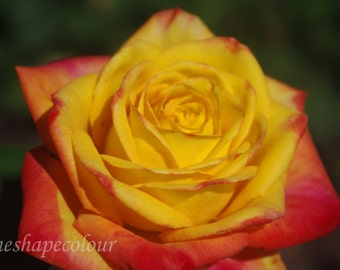 Yellow and pink rose - Nature photography print, flower photography, colour photography, Spring photography, floral print