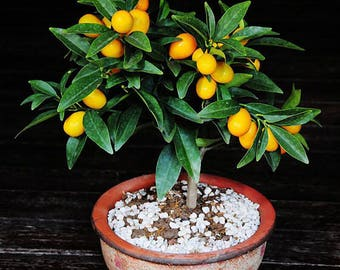 3 seeds Fortunella kumquat