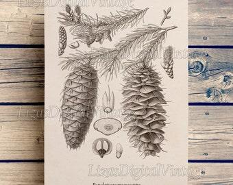 Art print, Download print, Douglas fir, Illustration, Wall art vintage, Conifers, Douglas tree, Tree wall decor, Tree print, JPG PNG #