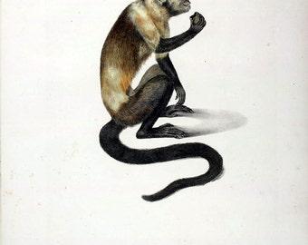 Cebus xanthocephalus,black horned capuchin monkey coloured antique engraving reproduction 1823