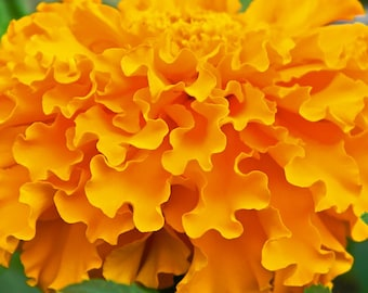 Marigold Crackerjack Mix Flower Seeds - Non-GMO, Open Pollinated, Untreated, Heirloom, Native, Flower Seeds