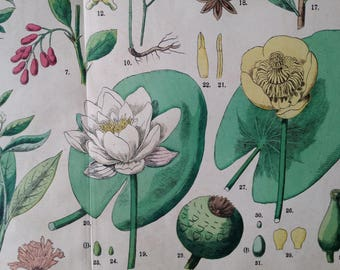 1890s Color Botanical Print Water Lily, Lotus & others FUNFSTUCK