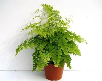 Adiantum raddianum Fragrans 35cm tall Maidenhair fern house plant