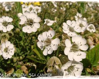 Silene uniflora 'Sea Campion' 100+ SEEDS
