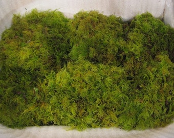 Moss Feather  Fresh, Beautiful Green Feather Moss.